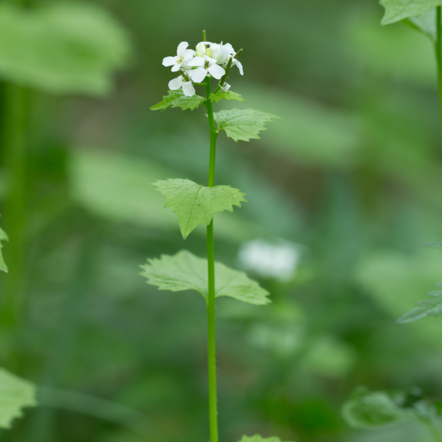 A photo of a tall stem of second year garlic mustard