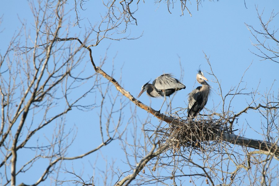 A pair of Great Blue Herons in their nest at Long Branch Farm & Trails