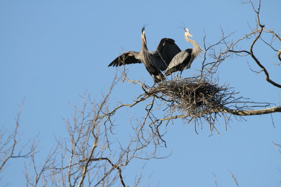 A pair of Great Blue Herons at Long Branch Farm & Trails