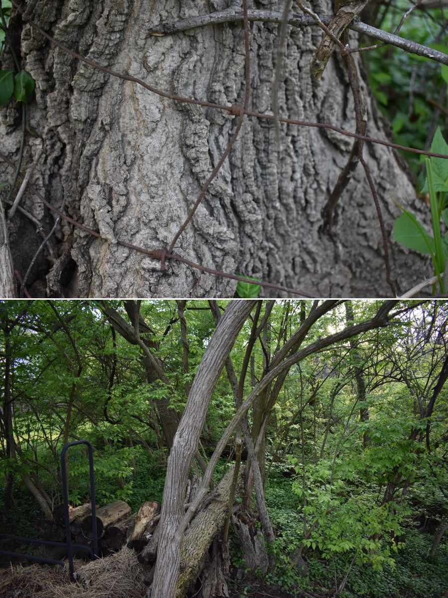 Top: Woven wire fencing from the pre-development farm. Bottom: A Subcanopy of honeysuckle underlaid with a carpet of winter creepier.