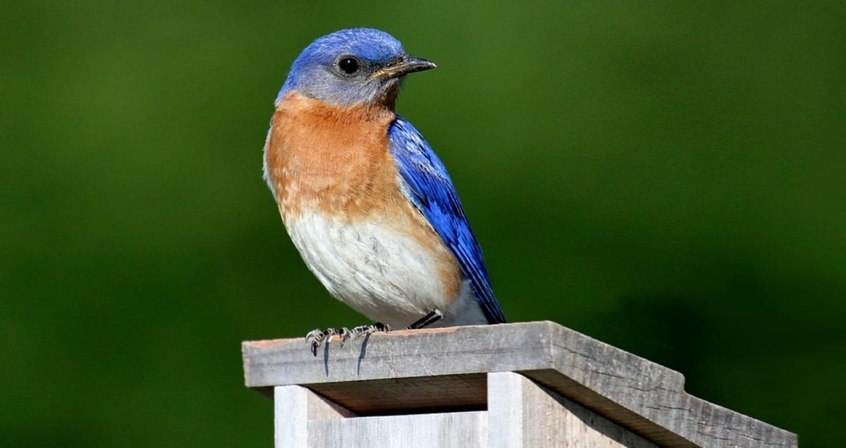 blue bird on perch