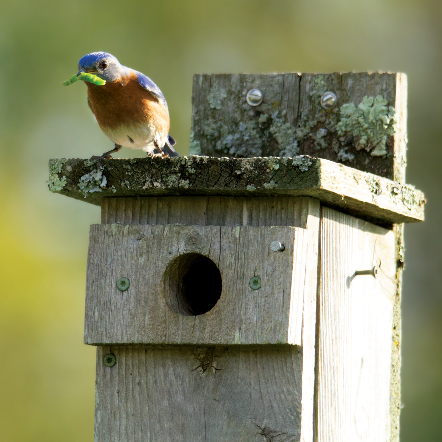 Image of a male Eastern Bluebird with a green caterpillar in its mouth, perched on a bluebird house with a green caterpillar in its mouth, perched on a bluebird house