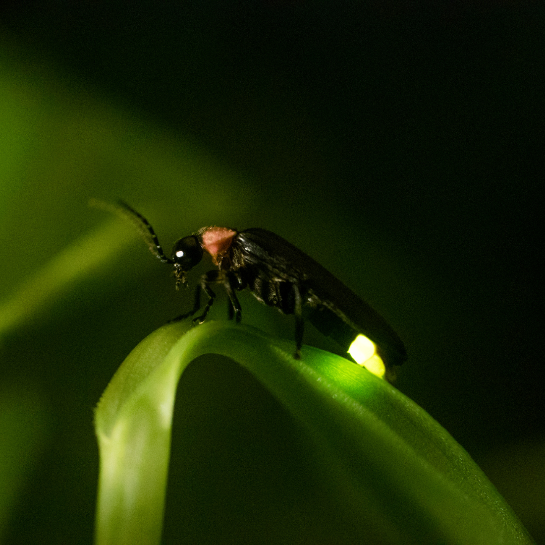 Photo of a firefly with glowing abdomen on a leaf