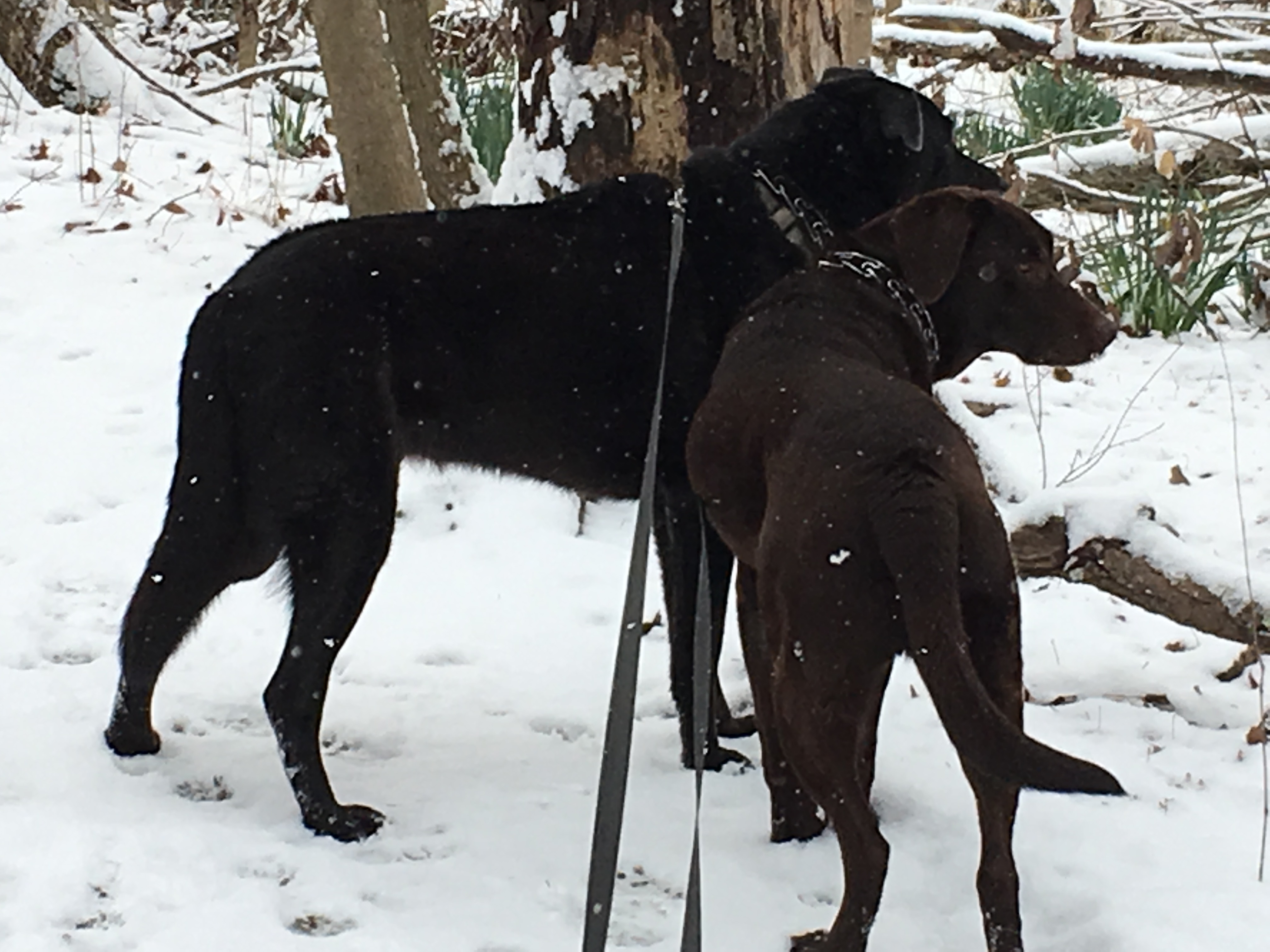 Two leashed labradors stand in the snow looking off the side of a trail.