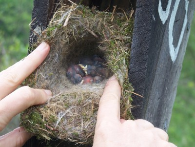Hands opening a baby bird nest with baby birds inside